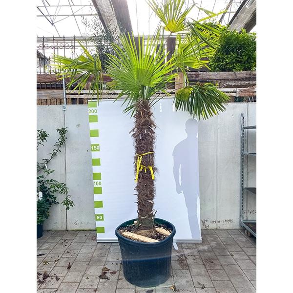 Chinesische Hanfpalme 'Trachycarpus fortunei' 200cm Bild 1