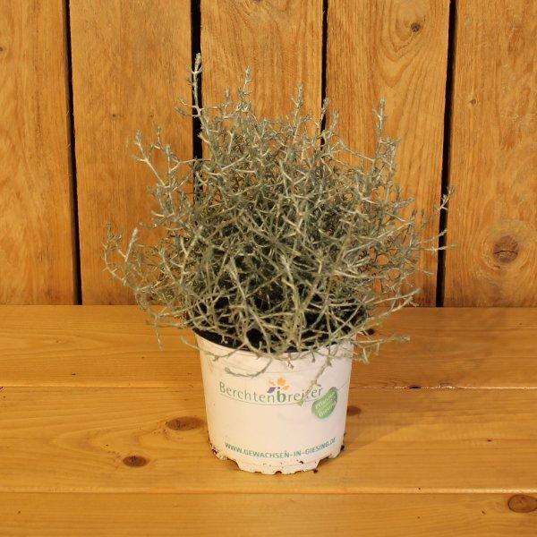 Stacheldrahtpflanze Bild 1
