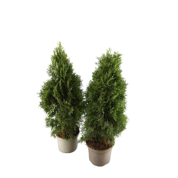 Abendländischer Lebensbaum Thuja occidentalis 'Smaragd' Bild 1