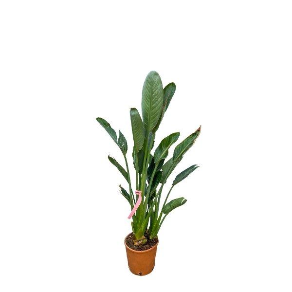 Paradiesvogelblume 'Strelitzia reginae' Bild 1