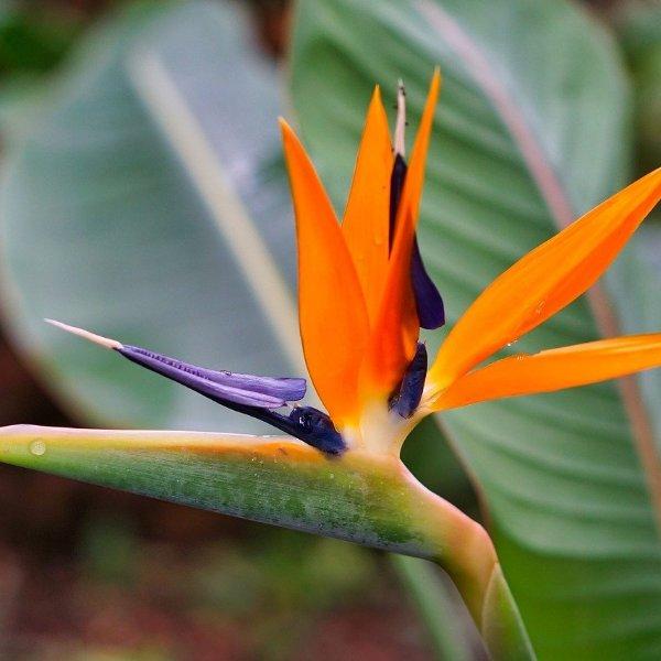 Paradiesvogelblume 'Strelitzia reginae' Bild 2