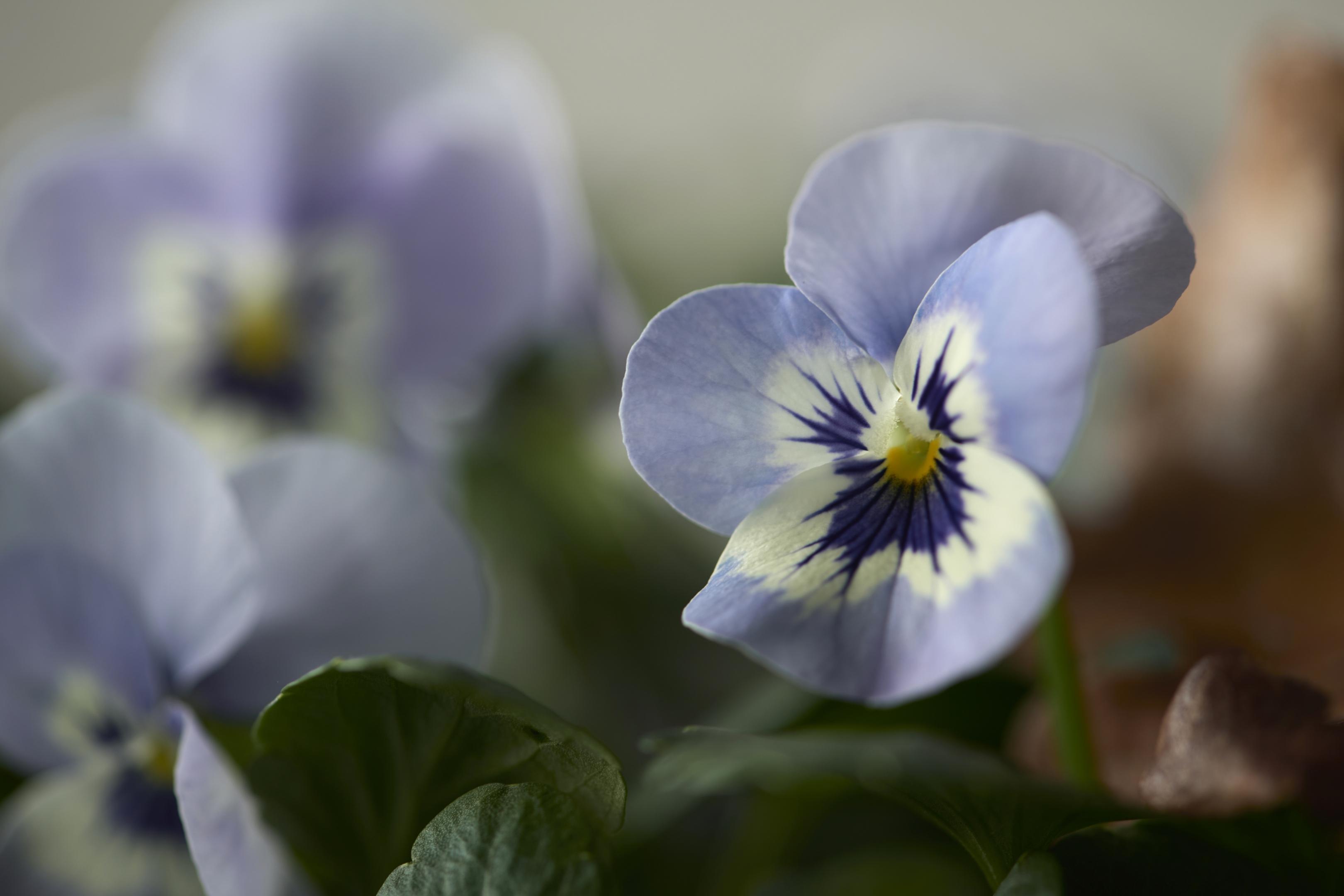 Viola Bild 1