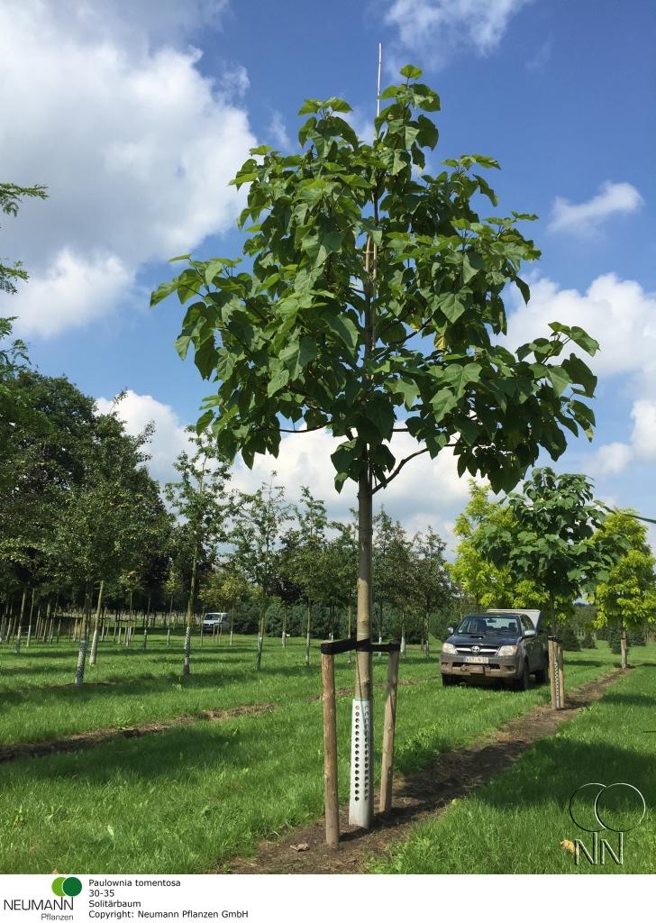 Blauglockenbaum Paulownia fortunei 'Fast Blue' Bild 3