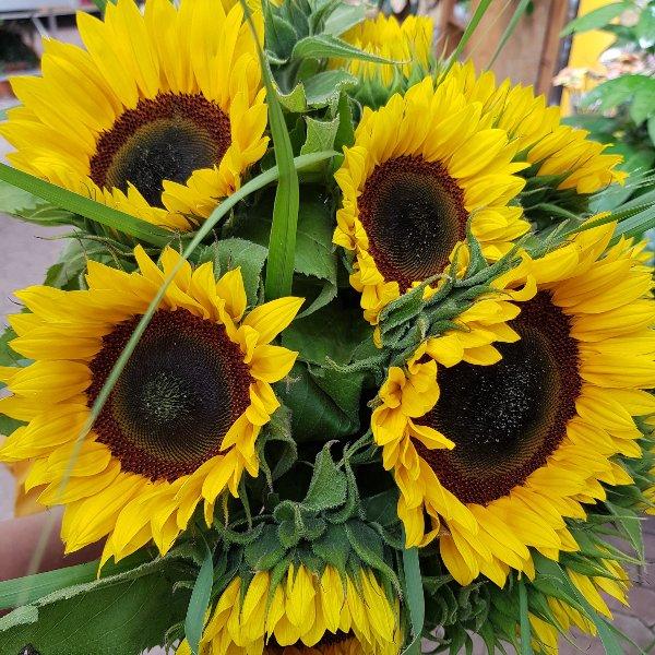 Sonnenblume Bild 1