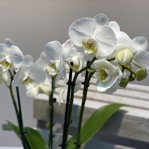 Orchidee - Weiß Bild 1