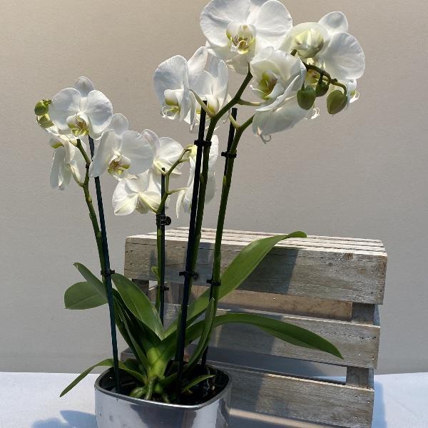 Orchidee - Weiß Bild 2