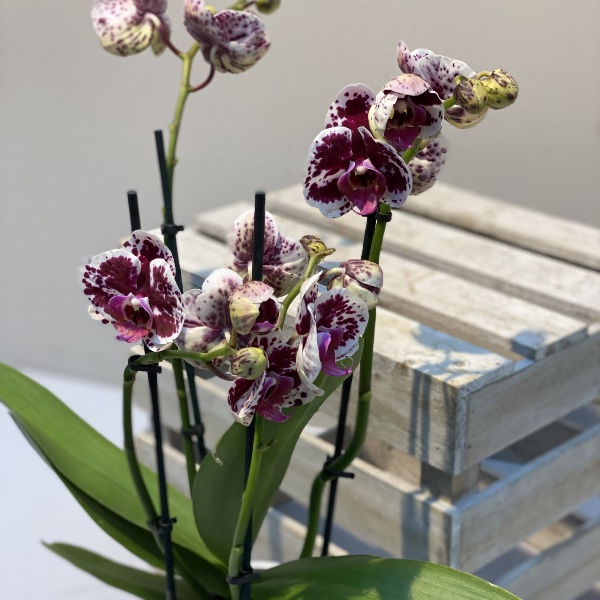 Orchidee - Rot/Weiß Bild 1
