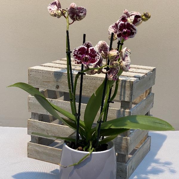 Orchidee - Rot/Weiß Bild 2