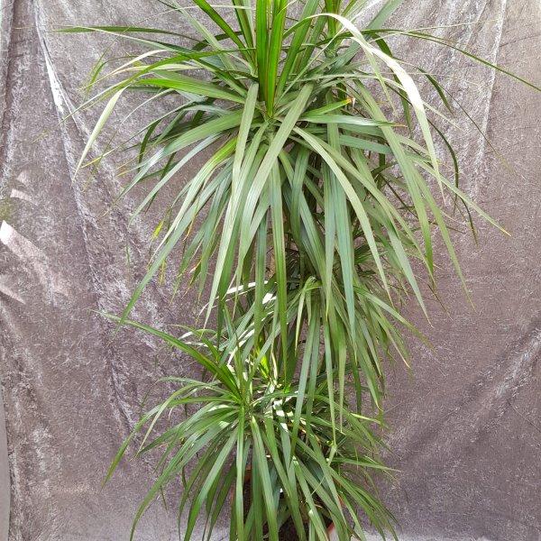 Drachenbaum Bild 2