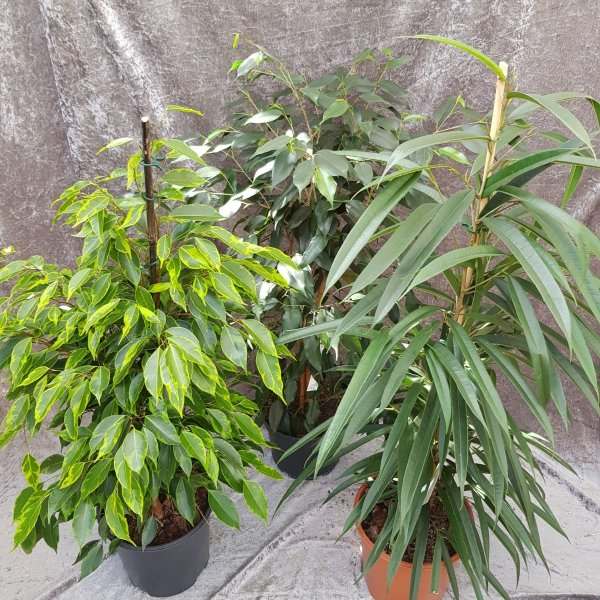 Ficus (Birkenfeige) Bild 1