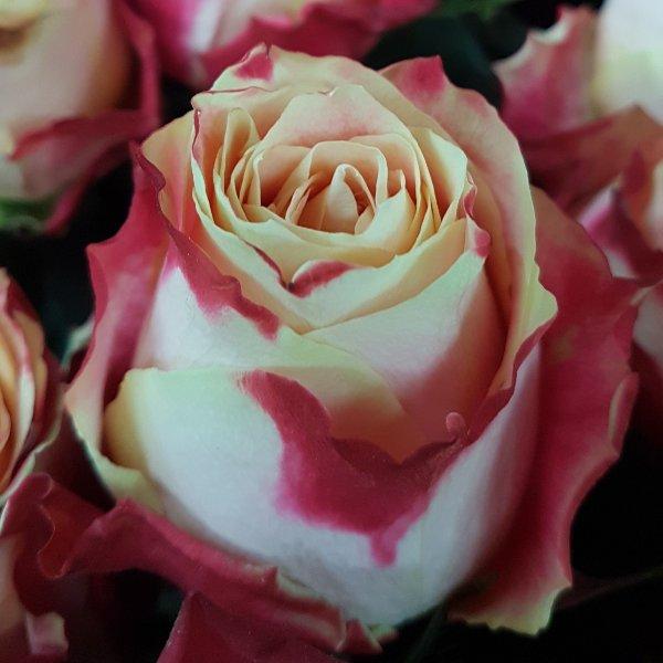 Rosen in Farben Bild 3