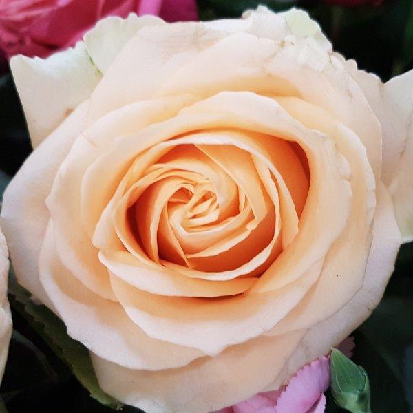 Rosen in Farben Bild 4