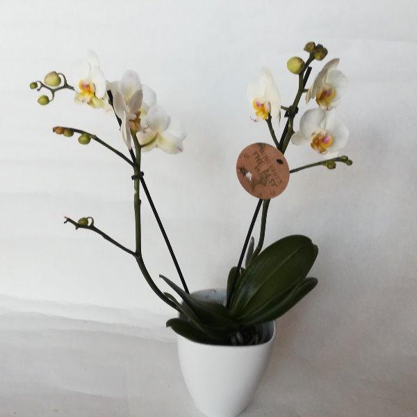 TP 14 Phalaenopsis ohne Topf Bild 1
