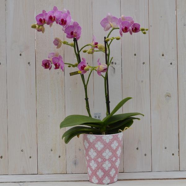 Orchidee im passendem Saisontopf Bild 1