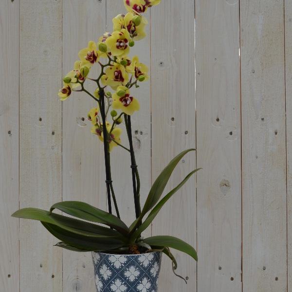 Orchidee im passendem Saisontopf Bild 2