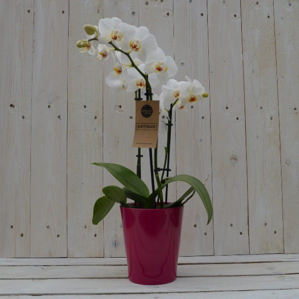 Orchidee weiß mit passendem Übertopf Bild 1