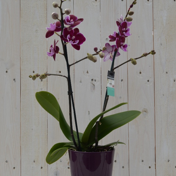 Orchidee Mehrfarbig mit passendem Übertopf Bild 1