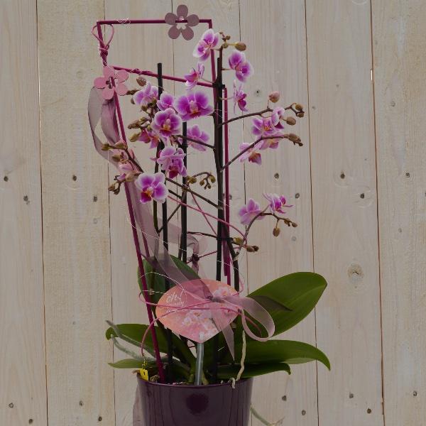 Orchidee Ausgeschmückt mit passendem Übertopf und Dekoelementen Bild 1