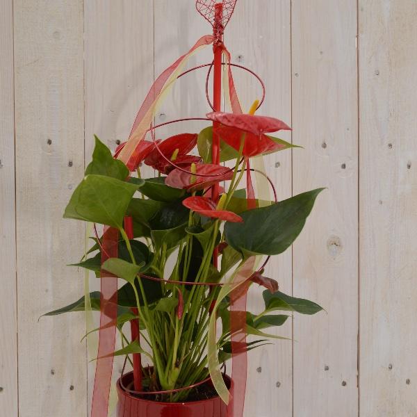 Anthurie Ausgeschmückt mit passendem Übertopf und Dekoelementen Bild 1