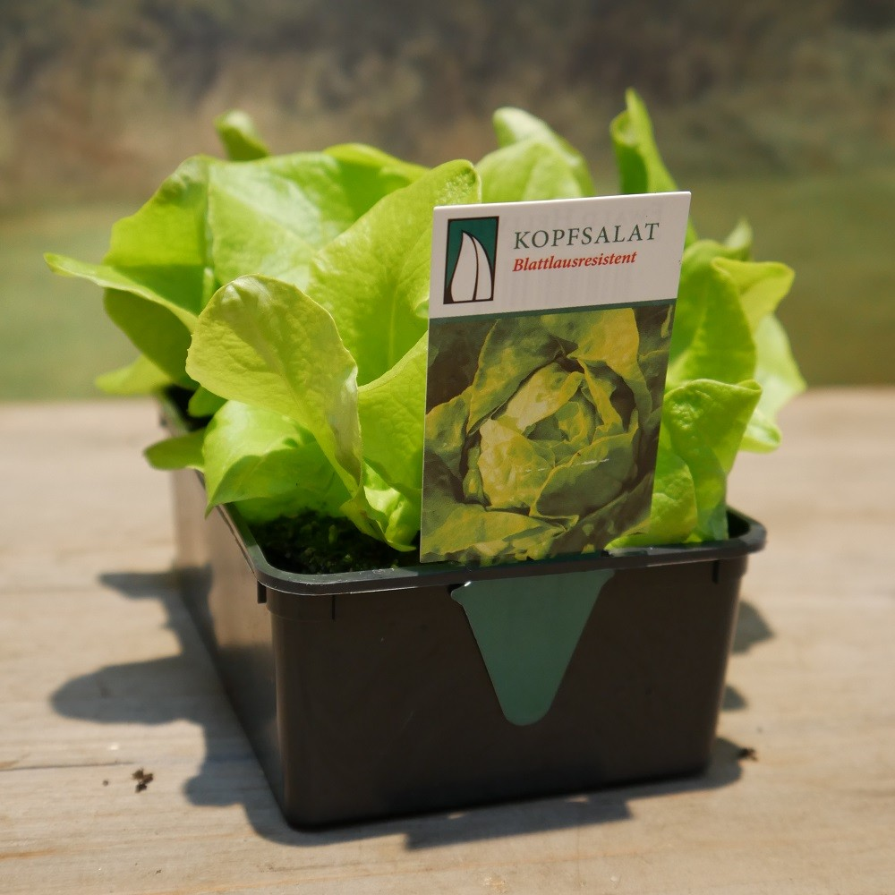 Kopfsalat 6er Pack Bild 1