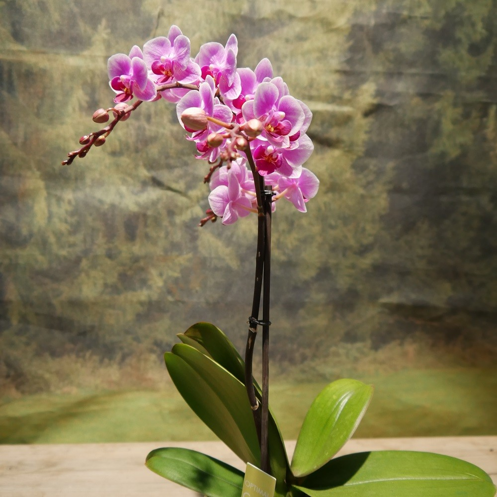 Orchidee groß Bild 1