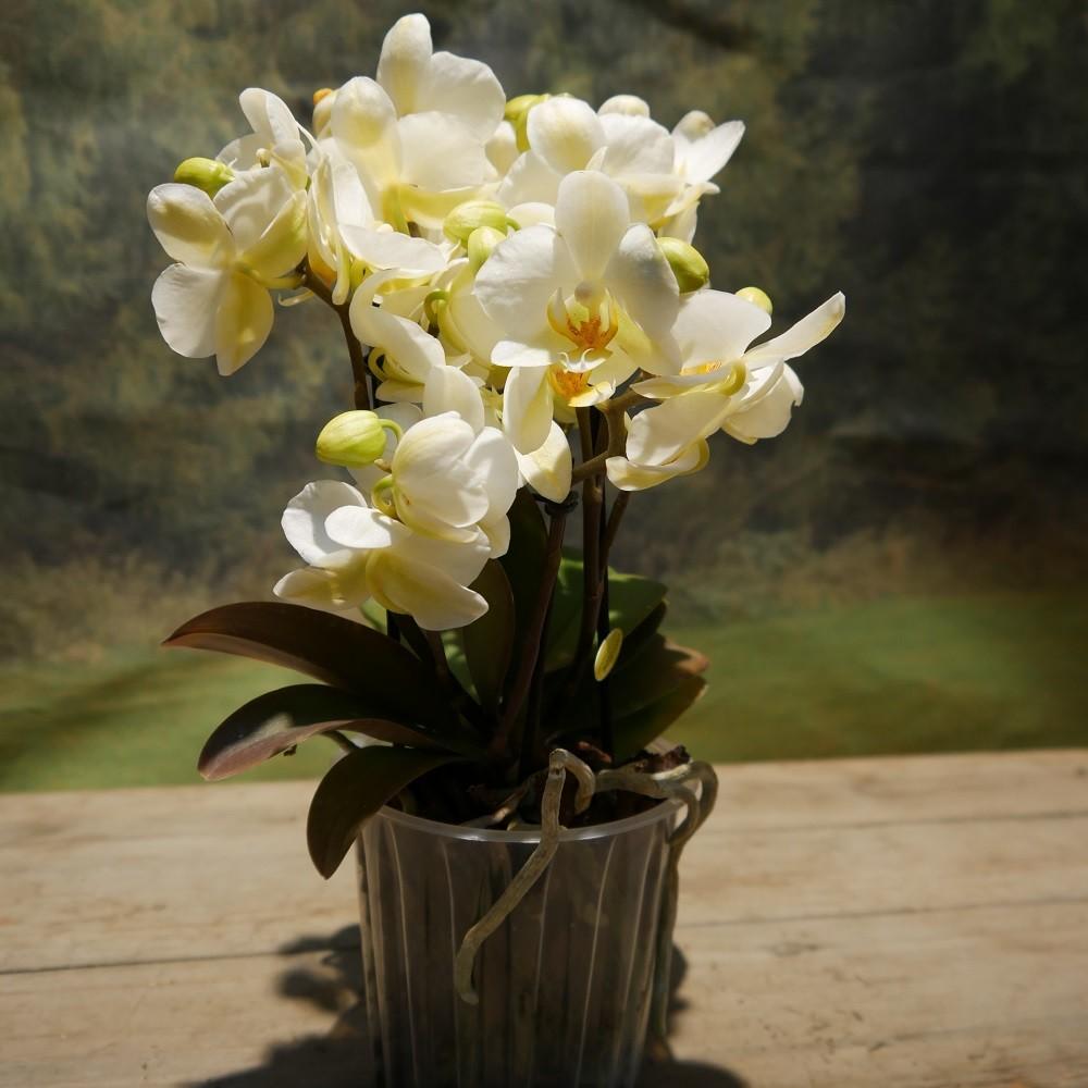 Orchidee groß Bild 2