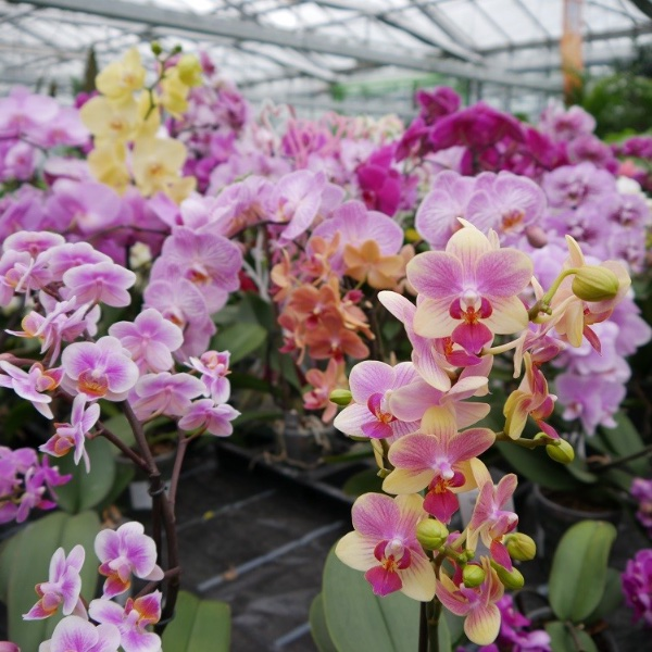 Orchidee groß Bild 3
