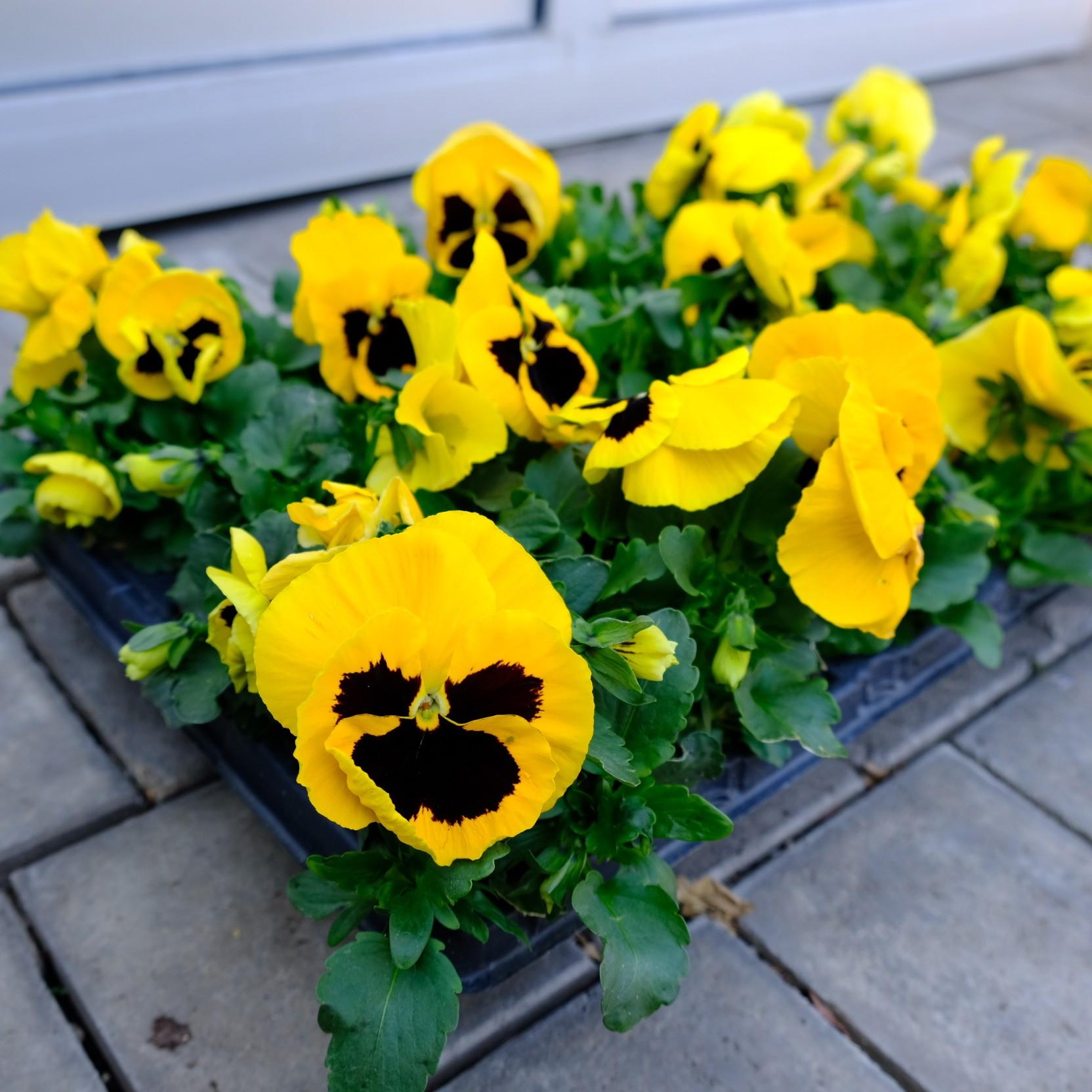 Stiefmütterchen mit großer Blüte Bild 1