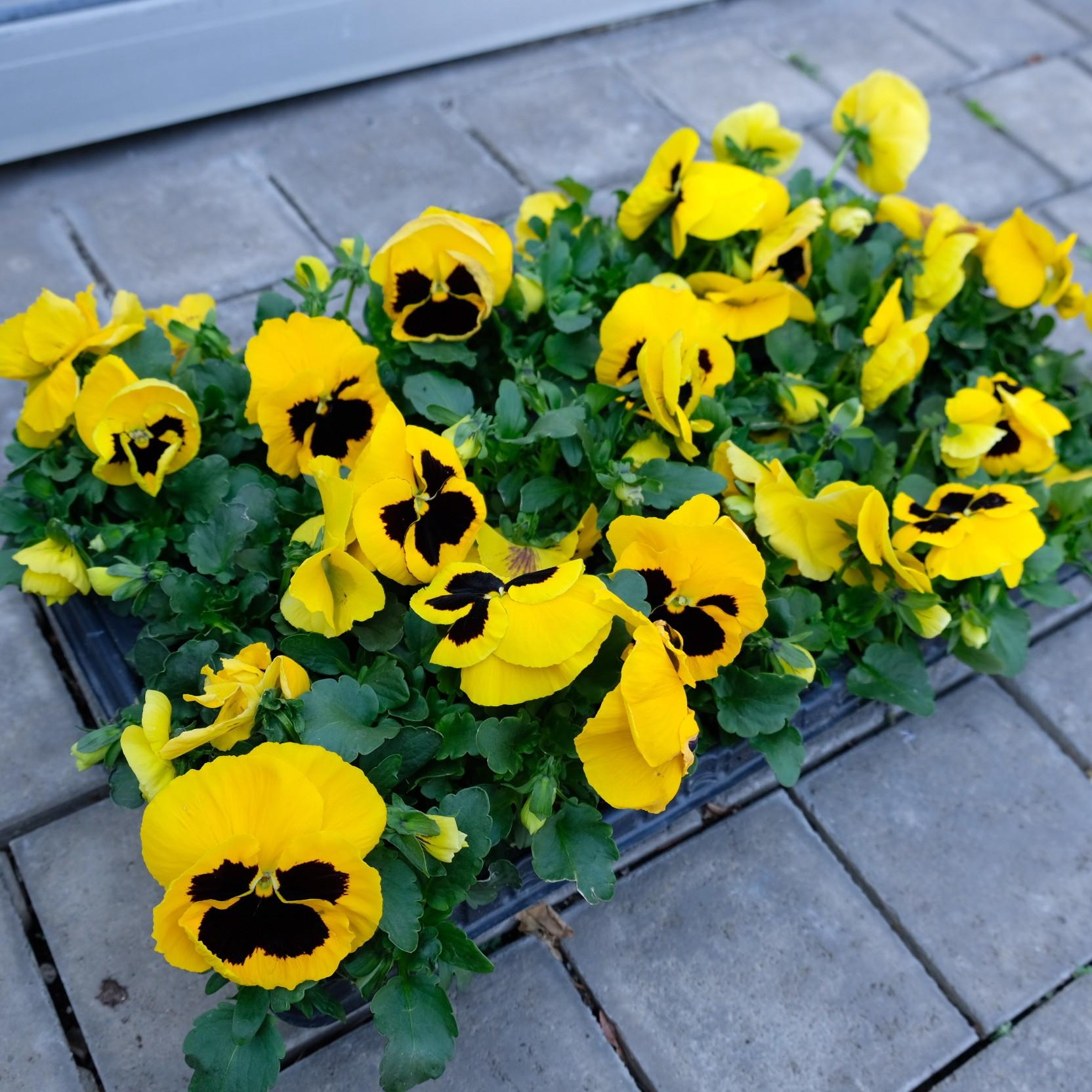 Stiefmütterchen mit großer Blüte Bild 2