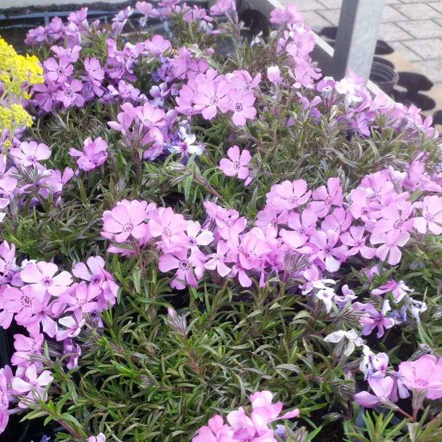 Frühlingsstauden Bild 3