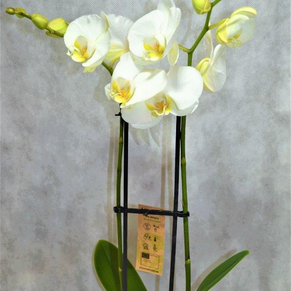 Orchidee mit zwei Trieben Bild 1