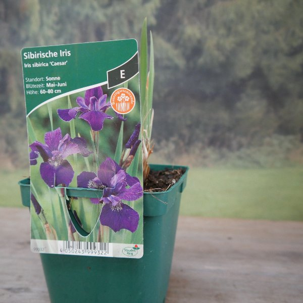 Sibirische Iris Bild 1