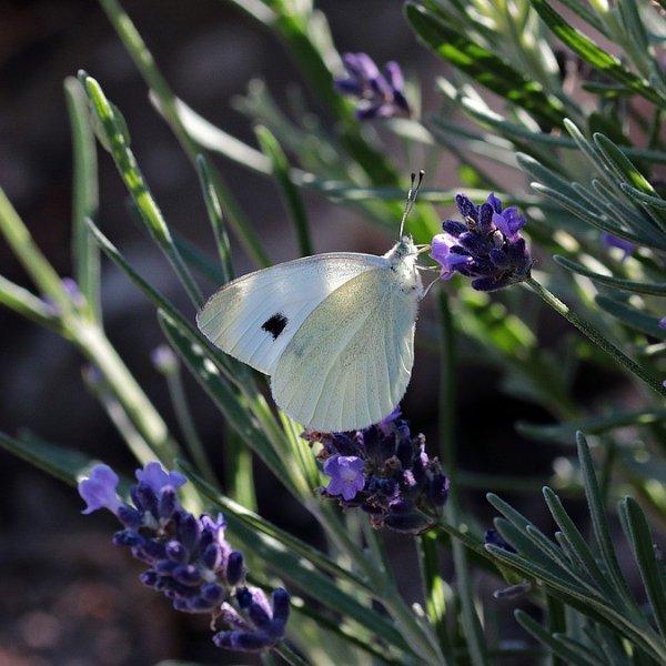 Lavendel / Lavandula Bild 2