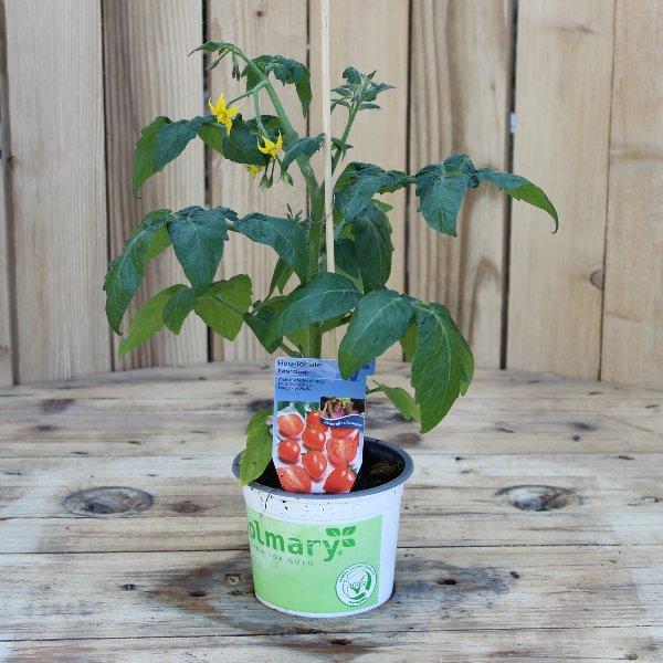 Tomatenpflanze unveredelt Bild 1