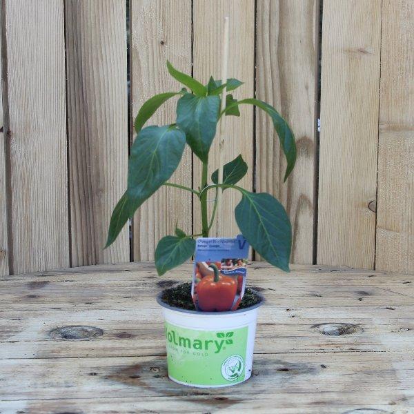 Paprikapflanze Bild 1