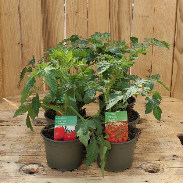 Goldi´s Tomatenkiste unveredelt Bild 1