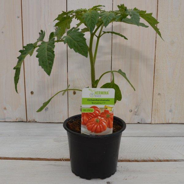 Ochsenherz Tomate Bild 1