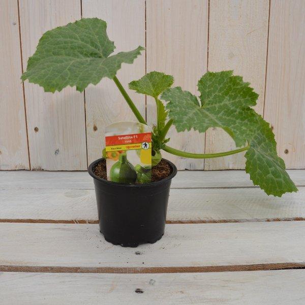 Zucchini rund Bild 1