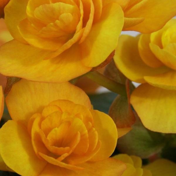Begonie Catrin   - Begonia Solenia Catrin® Bild 1