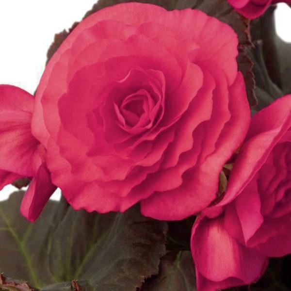 Begonie  Dark Pink - Begonia Solenia Dark Pink Bild 1