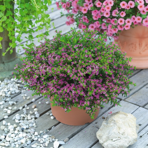 Scheinmyrthe - Cuphea hyssopifolia Bild 1