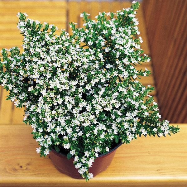 Scheinmyrthe - Cuphea hyssopifolia Bild 2