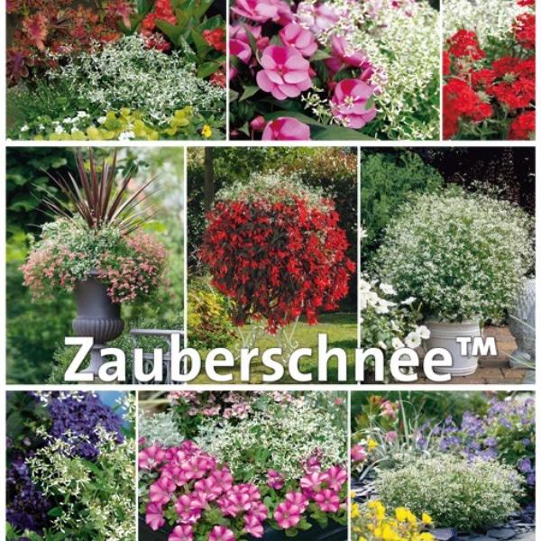 Zauberschnee- Euphorbia White Forst Bild 3