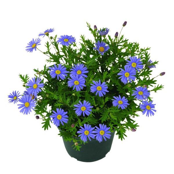 Blaues Gänseblümchen - Brachyscome Brasca Violet Bild 1