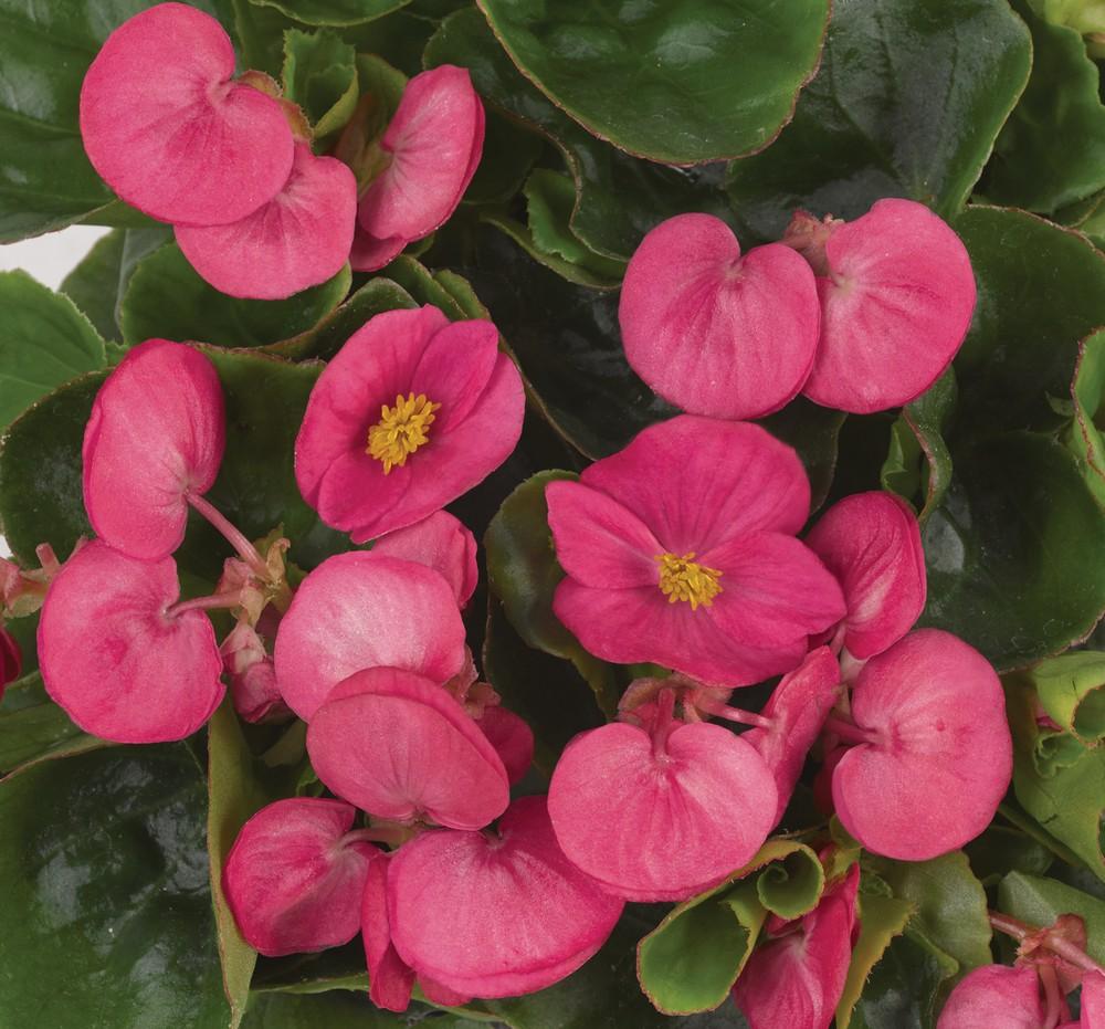 Eisbegonie - Begonia semperflorens Juwel Bild 1