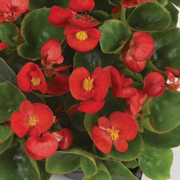 Eisbegonie - Begonia semperflorens Juwel Bild 2