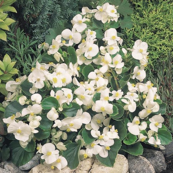 Eisbegonie - Begonia semperflorens Juwel Bild 3