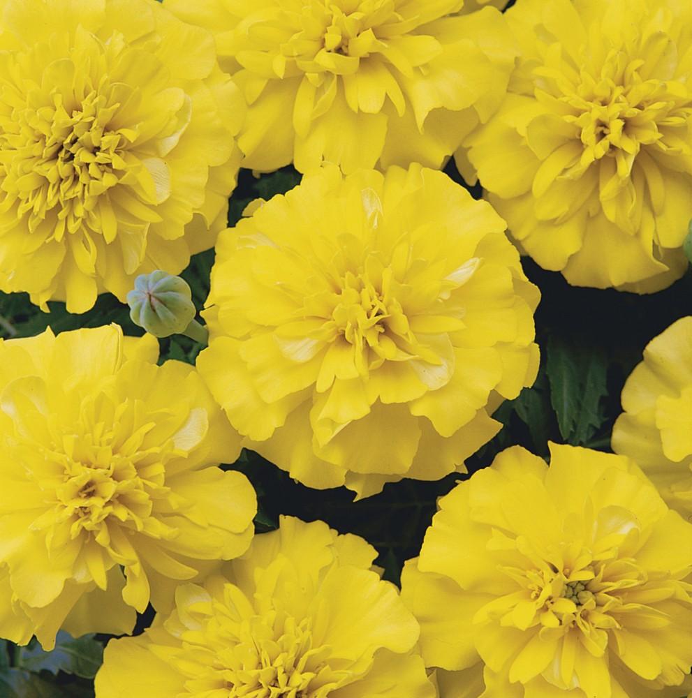 Studentenblume - Tagetes patula nana Bonanza Bild 2