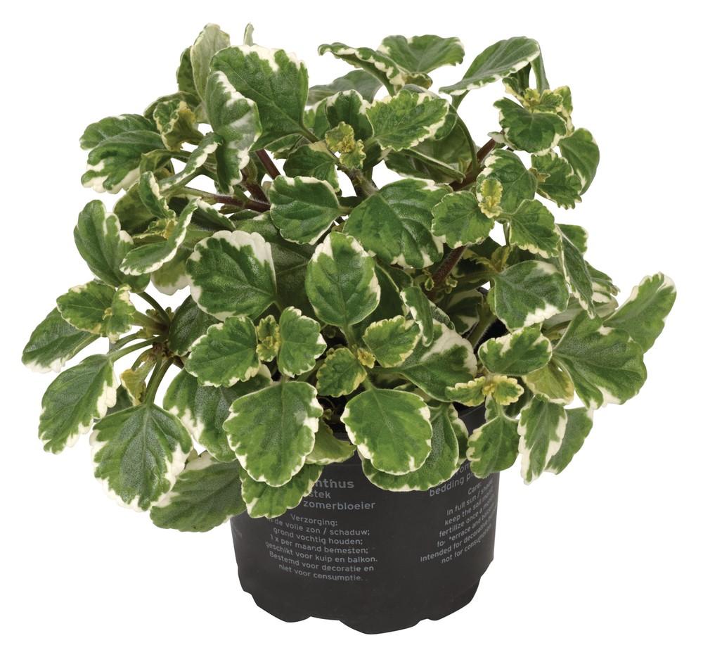 Weihrauchpflanze - Plectranthus coleoides Bild 1
