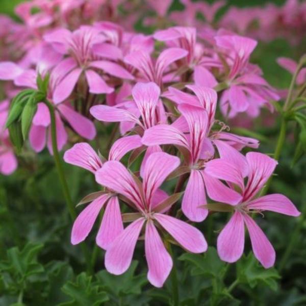 Hängegeranie lila - Pelargonium Ville de Paris rosa Bild 1